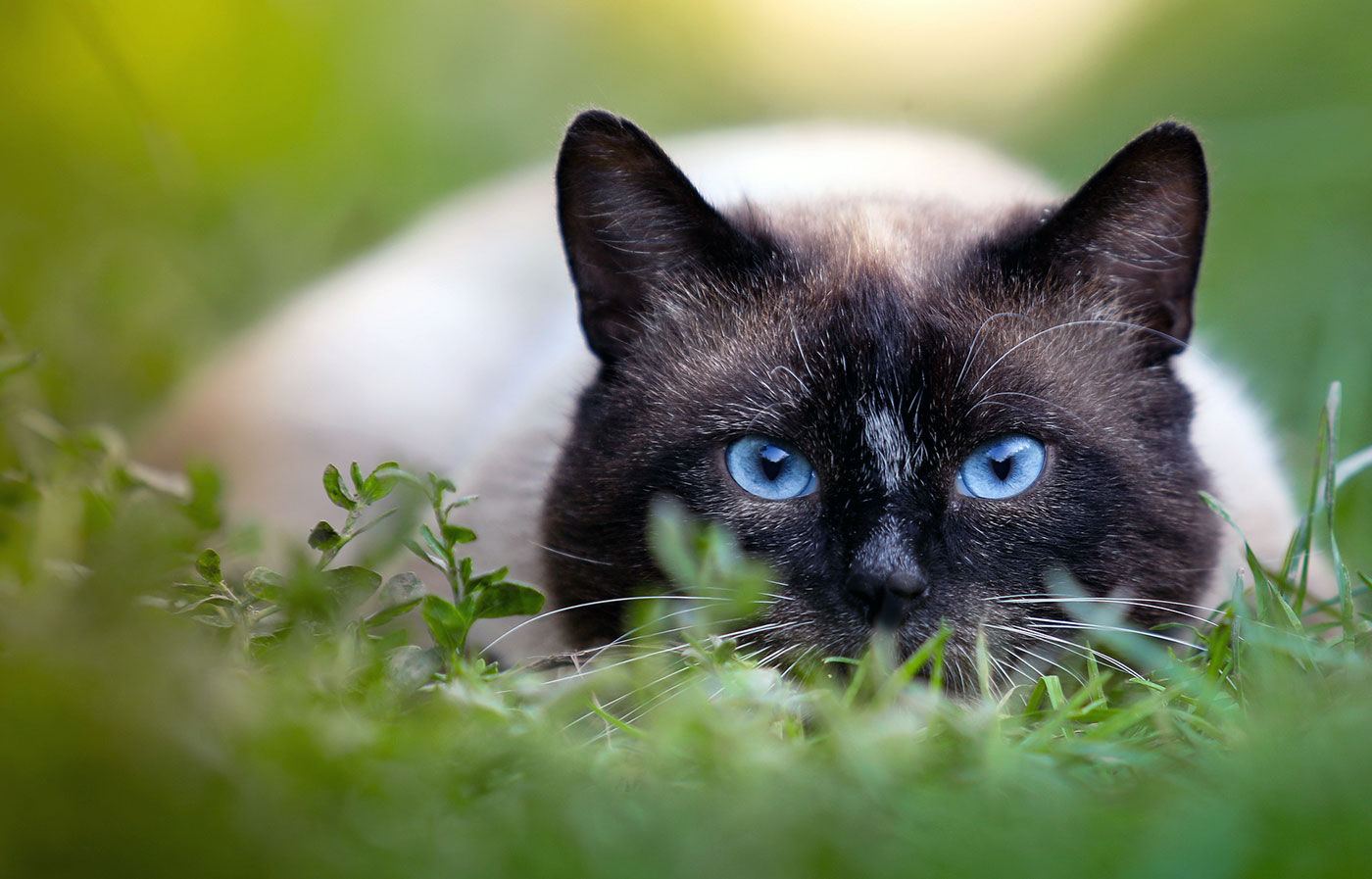 Siamese Cat grooming | The fact of Siamese Cat