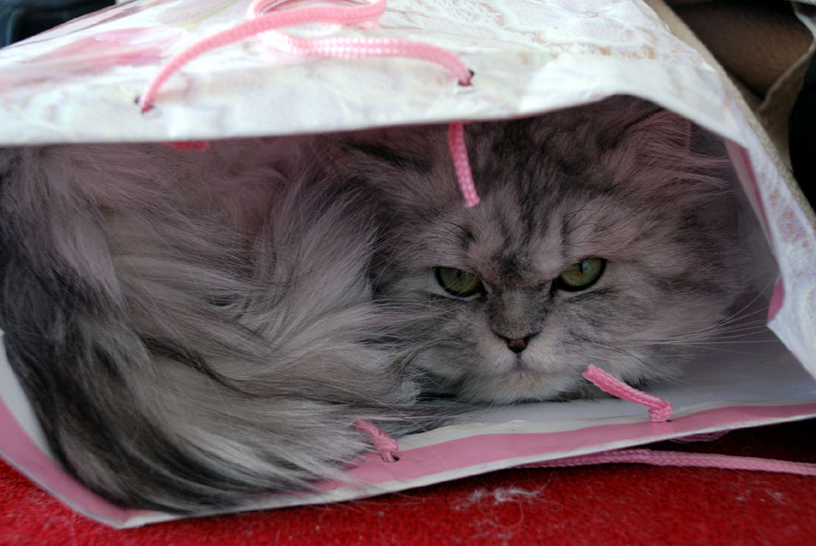 Persian cat facts and care