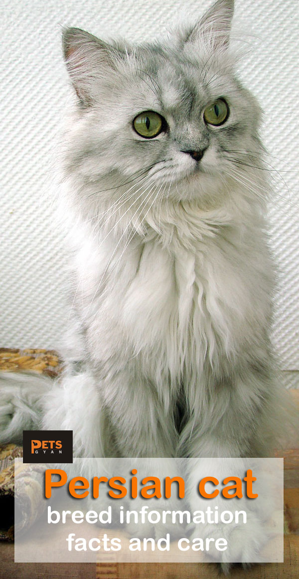Persian cat breed information | Persian cat facts and care