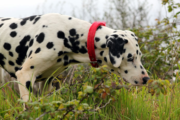 How to take care of a Dalmatian dog | Dals dog breed information