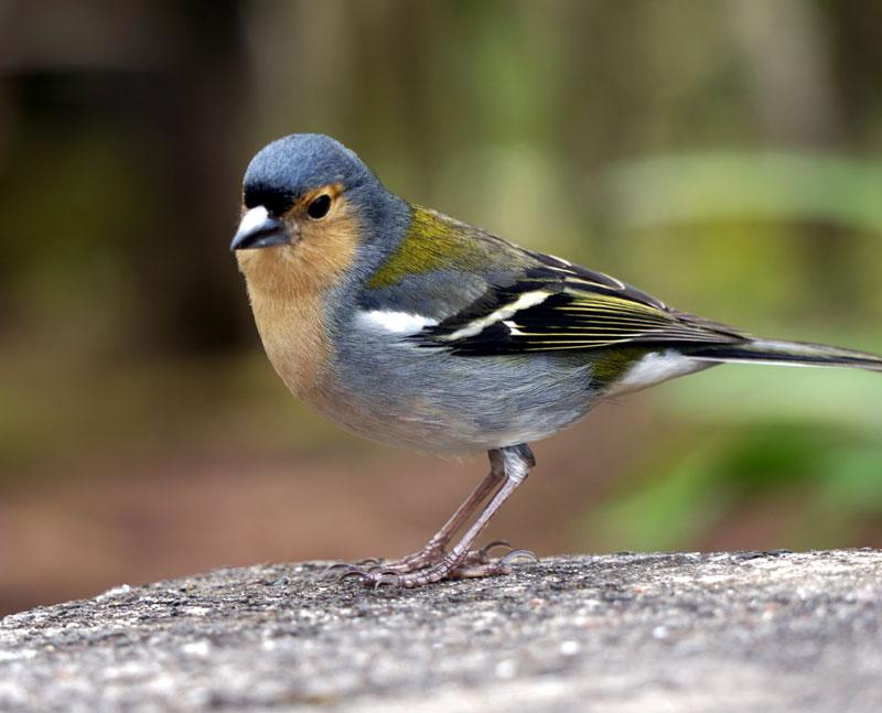 Finch Bird