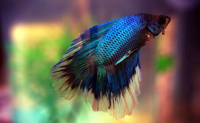 Betta Fish (Siamese Fighting Fish )