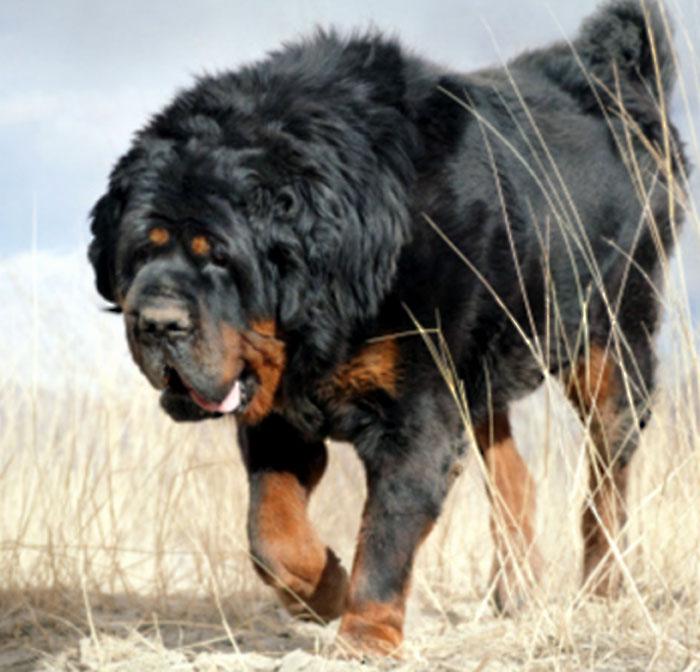 Himalayan mastiff Dog